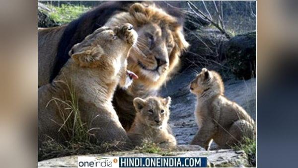 गुजरात: 3700 एकड़ में फैले देश के इस अभ्यारण्य में पनप रही शेरों की नई पीढ़ी, अब तक 22 शावक जन्मे, जानिए कितने हैं कुल 'जंगल के राजा'