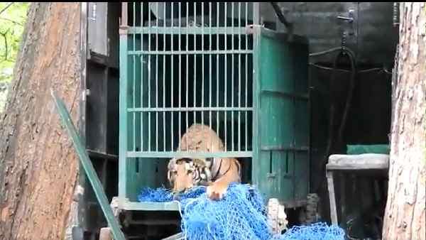 ये भी पढ़ें- VIDEO:मोतिहारी से रेस्क्यू किया गया बाघ, वाल्मीकि नगर टाइगर रिजर्व में छोड़ा गया तो क्या हुआ देखिए