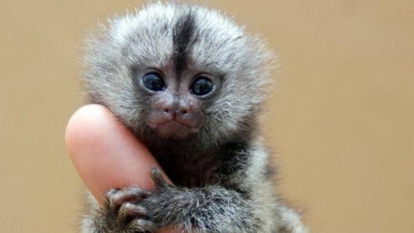 विश्व के सबसे छोटे बंदर पिग्मी मार्मासेट पर वैज्ञानिकों का बड़ा खुलासा, महज 100 ग्राम होता है वजन