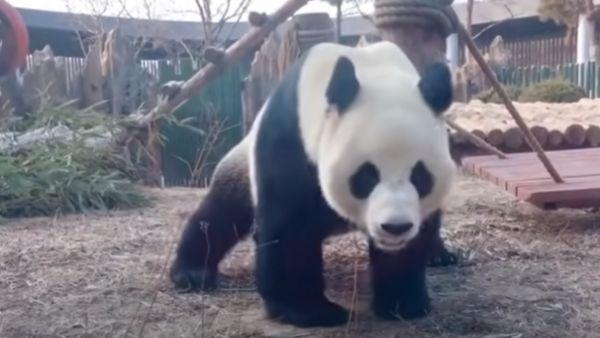 गजब: पांडा हुई गर्भवती तो जापान के शेयर मार्केट में आ गया उछाल
