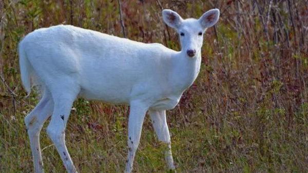 क्या कभी आपने सफेद हिरण देखा? देश के इस जंगल में रहते हैं ऐसे दुर्लभ जानवर, बहुत दिनों बाद 1 बाहर निकला