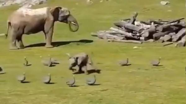 हाथी के बच्चे का Video देखकर गारंटी से आएगी मुस्कान, देखें कैसे बत्तखों की शिकायत करने मां के पास पहुंचा