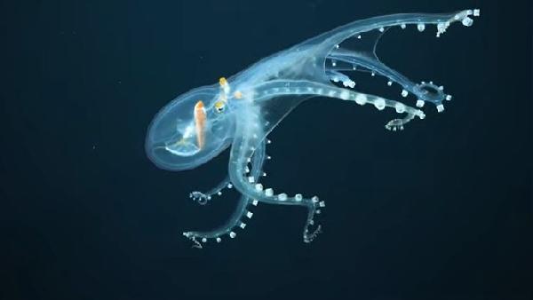 कुदरत का करिश्मा: प्रशांत महासागर में मिला दुर्लभ 'ग्लास ऑक्टोपस', वीडियो देख हो जाएंगे दंग