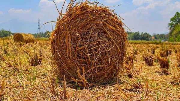 किसानों के लिए अच्छी खबर: हरियाणा में पराली प्रबंधन के लिए अब सरकार देगी हजार रु. प्रति एकड़