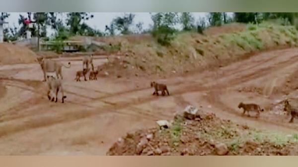 इसे भी पढ़ें-सड़क से एक साथ गुजरा शेर का कुनबा, शेरनियों संग 9 शावकों की चहलकदमी देख थम गए वाहन