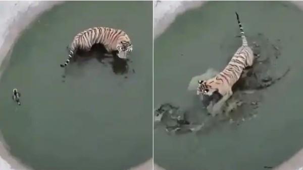 इसे भी पढ़ें-Video: एक बार नहीं, दो बार नहीं पूरे पांच बार शेर के चंगुल से बची बत्तख, शर्म के मारे पानी पानी हो गया शेर