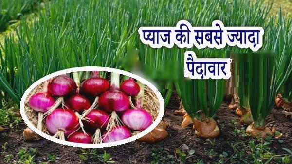 गुजरात में यहां 6 हजार हेक्टेयर भूमि पर होती है प्याज की खेती, रेलों से बिकने जाती है नेपाल-बांग्लादेश तक