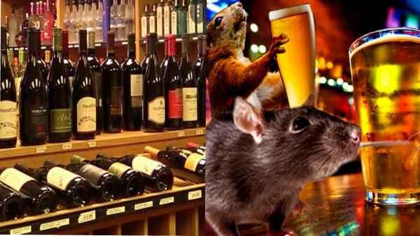 एक नहीं पूरी 12 बोतल शराब पीकर टल्ली हो गए चूहे, जानें पूरा मामला