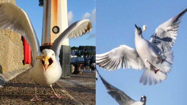 अब इस पक्षी ने मचाया आतंक, सिर पर चोंच मारकर चूसता है खून, हेलमेट पहनकर सड़कों पर घूम रहे लोग