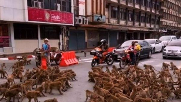 जंगली बंदरों की इंसानों के स्टाइल में लड़ाई, रूका रहा ट्रैफिक लड़ते रहे सैकड़ों बंदर, देखें अद्भुत वीडियो