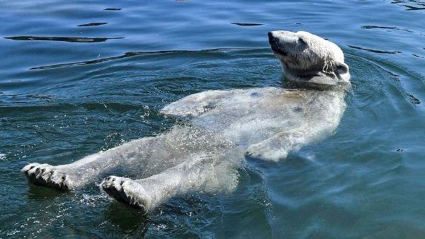 विलुप्त होने के कगार पर दुर्लभ ध्रुवीय भालू, आर्कटिक से इंसानों के लिए भी आई विनाशकारी चेतावनी