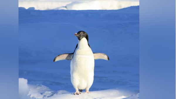 ती बर्फ इंसानों के लिए ला सकती है मुसीबत, नष्ट हो रहीं एम्परर पेंग्विन की बस्तियां