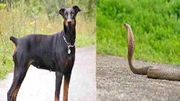 आधे घंटे तक मालकिन को बचाने के लिए कोबरा से हीरो की तरह लड़ा कुत्ता, सांप तो मर गया लेकिन...