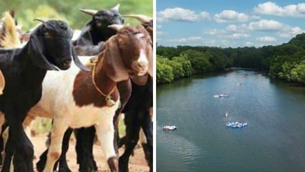 नदी में रहस्यमयी तरीके से पहुंची बहुत सारी बकरियां, सभी के सिर गायब, लोगों की हालत हुई खराब