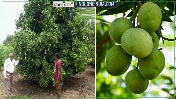 वडोदरा के किसान करते हैं बारहमासी आम की खेती, बगीचों में पेड़ों पर ऐसे लदी हुई है फलों की नई किस्म
