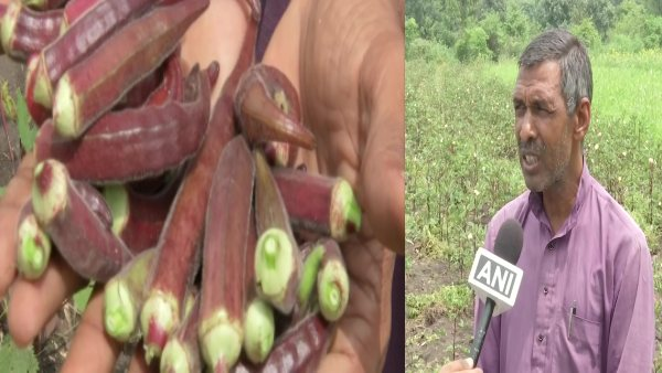 Mishri Lal is getting 'silver' by growing red ladyfinger, 300 to 400 rupees per kg - Daily India