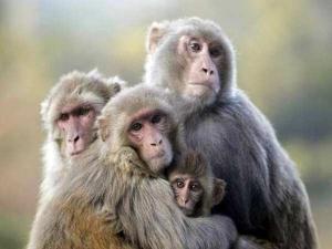यूपी के अमरोहा में खूनी उल्टी कर रहे बंदर, 100 से ज्यादा की मौत