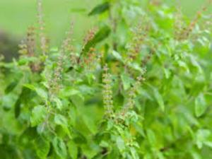 घर में है तुलसी का पौधा, तो ये बातें जरूर ध्यान रखें