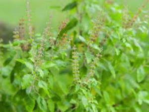 कोई संकट आने वाला है तो संकेत दे देता है तुलसी का पौधा