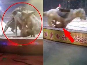 VIDEO: घोड़े ने मारी लात तो बौखलाया शेर, जानें फिर क्या हुआ