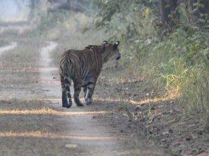 32 मिनट तक सड़क पर दहाड़ता रहा बाघ, दहशत में ग्रामीण