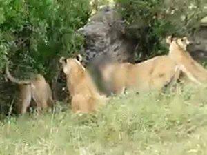 VIDEO:शेरनी के लिए शेरों में लड़ाई, 5 शेरनी कर रहीं बीच-बचाव