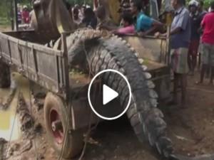 वीडियो: 17 फुट, 1000 किलो वजन वाले मगरमच्छ को लोगों ने बचाया और फिर छोड़ दिया नहर में