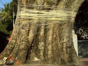 वट सावित्री में क्यों की जाती है बरगद के पेड़ की पूजा?