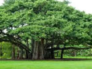 Religion: बरगद का पेड़ कहलाता है अमर वृक्ष,जानिए इसके अचूक उपाय