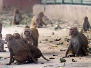 शराबी बंदर का आतंक, नशे में महिलाओं पर करता है हमला