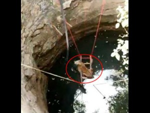 Video: 30 फीट गहरे कुएं में गिरा तेंदुआ, सीढ़ी की मदद से बची जान