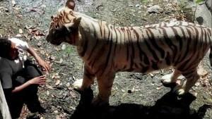 VIDEO: दिल्ली चिड़ियाघर में 5 साल पहले बाघ के बाड़े में कूदा था युवक, जिंदा नहीं बचा था...