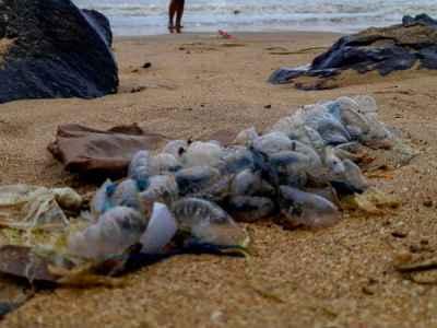 ऑस्ट्रेलिया में 2600 लोगों पर जेलीफिश का हमला, क्वींसलैंड के बीच बंद    Australia beaches shut down as 2600 people have been stung by bluebottle  jellyfish - Hindi Oneindia