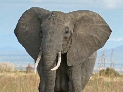 जानिए मदमस्त चाल वाले हाथी के बारे में ये रोचक बातें...