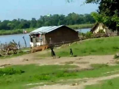 VIDEO: नदी तैरकर गांव पहुंचा था बाघ, कुत्तों ने दौड़ाया