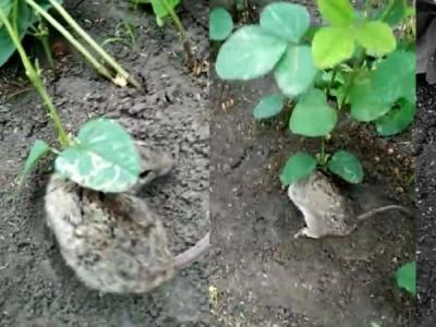 जिंदा चूहे के कान पर उगा आया सोयाबीन का पौधा, देखें VIDEO