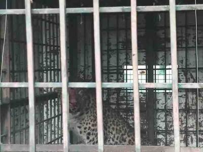 खत्म हुआ तेंदुए का आतंक, पिंजड़े में हुआ कैद