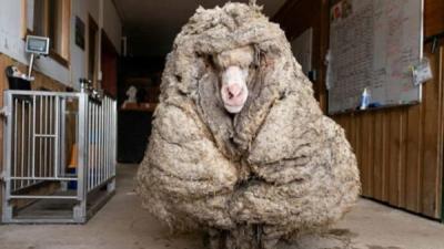 बचाई गई जंगली भेड़ के शरीर से निकला 35 किलो ऊन
