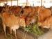 BJP मंत्री का बयान, गाय ऑक्सीजन लेती भी है और छोड़ती भी है