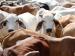 गायों को अपनाने वालों को सम्मानित करेगी राजस्थान सरकार